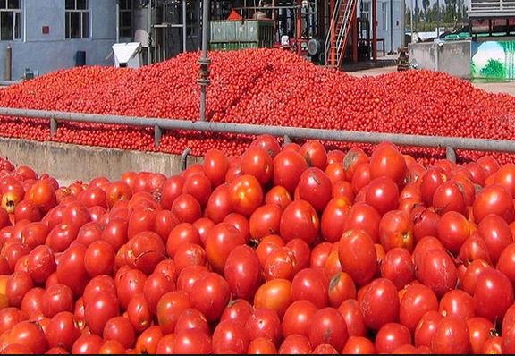 گوجه تا دو هفته دیگر کاهش مییابد / بازار در انتظار گوجه بوشهر