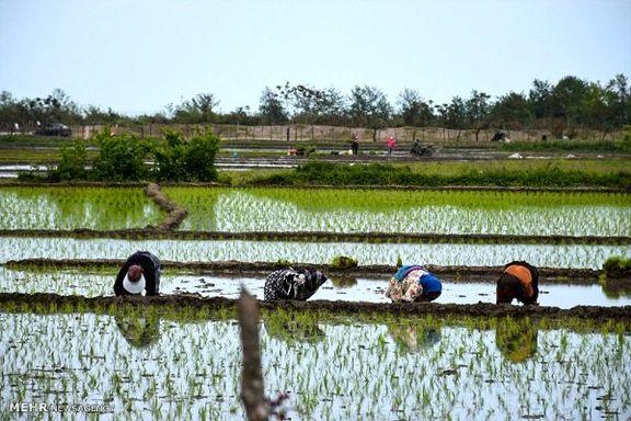 چرا واردات برنج ممنوع شد؟/قیمت برنج چه تغییری خواهد کرد؟