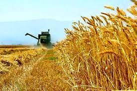 خریداری ۱.۱ میلیون تن گندم از کشاورزان