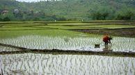 تشدید خشکسالی در مازندران/ ممنوعیت کشت دوم برنج