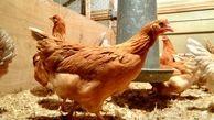 مرغ تریاکی شایعه است