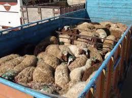 داشتن مجوز بهداشتی برای ماشین های حمل دام و طیور در قزوین اجبار شد