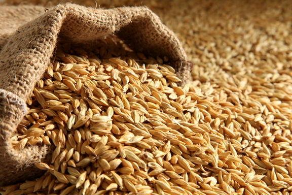 خرید وفروش بذر جو در سال جاری 11 درصد افزایش داشته است