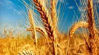 نرخ جدید گندم ابلاغ شد/ قیمت گندم 2 برابر سال گذشته
