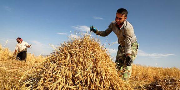 قیمت خرید تصمینی گندم برای کشاورز نمی ارزد