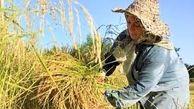 بهترین زمان برداشت برنج تا آخر هفته است