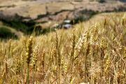 خرید تضمینی 7 میلیون و 700 هزار تن گندم از کشاورزان از ابتدای سال تاکنون