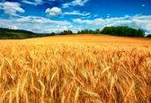 میزان تولید گندم در سال آینده 13.5 میلیون تن پیش بینی شد