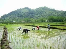 اشتغالزایی با راه اندازی برنج کاری در جنوب