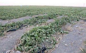 یک سوم مزارع و باغات استان کهگیلویه و بویراحمد بیمه ندارند