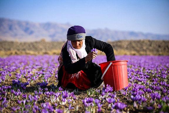 افزایش 40 درصدی صادرات زعفران / سال گذشته 326 تن زعفران برداشت شد