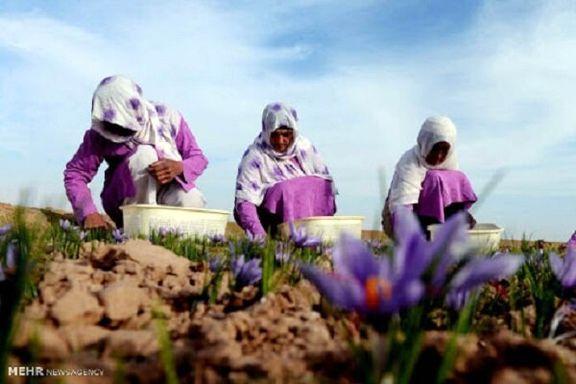 صادرات زعفران به دیگر کشورها 80 درصد گذشته انجام می شود