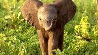 تصاویری از نجات بچه فیل افتاده در چاله ای  در سریلانکا + فیلم