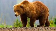 دولت ایتالیا دستور شکار یک خرس را داد