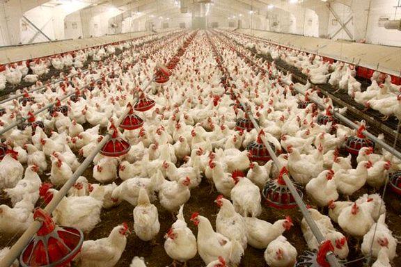 در 3 ماه گذشته قیمت مرغ 50 درصد افزایش داشته است