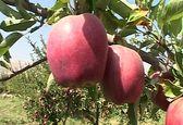 دولت خرید سیب از کشاورزان برای ذخیرهسازی شب عید را آغاز کرد