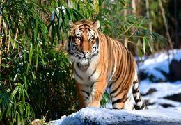 تست کرونای یک ببر در باغ وحش نیویورک مثبت شد + فیلم