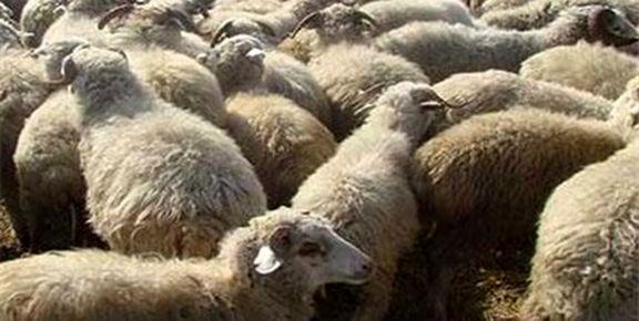 قیمت گوسفند زنده برای عید قربان اعلام شد