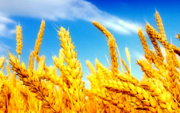 خرید تضمینی گندم با افزایش قیمت 1600 تومان