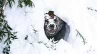 لحظهی بیدار شدن یک خرس گریزلی از خواب زمستانی + فیلم