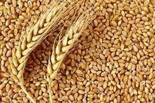 هر کیلو گندم توسط دولت به صورت تضمینی با قیمت 2000 تومان خریداری می شود