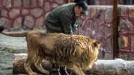 فیلم از لحظه حمله شیر باغ وحش قزوین به مونسان + فیلم