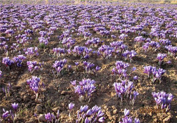 افزایش 20 درصدی تولید زعفران/ ضرورت ساماندهی صادرات زعفران به بازار جهانی