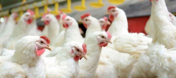 آخرین قیمت مرغ زنده در بازار