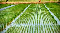 بحران کمبود برنج تا 2 ماه آینده/ ممنوعیت کاشت به دلیل کم آبی
