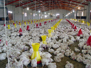 روزانه هزار و ۵۰۰ تن مرغ و تخم مرغ به منظور حمایت از تولیدکنندگان خریداری می شود
