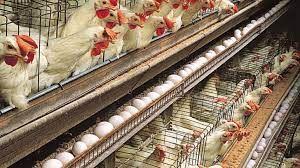 حذف ۱۴میلیون قطعه مرغ تخمگذار طی سه ماه