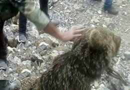 حمله بیرحمانه دو انسان به یک بچه خرس در سوادکوه که منجر به مرگ بچه خرس می شود + فیلم