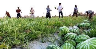 210 هزار تن هندوانه برای شب چله سال جاری برداشت می شود