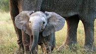 زمان شیر خوردن بچه فیلهای یتیم شده از دست انسان