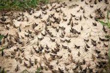هشدار به کشاورزان سیستان و بلوچستان/ملخ ها این بار به سیستان و بلوچستان حمله می کنند