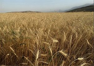 قیمت تضمینی گندم تعیین شد