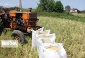 تولید برنج از مرز ۲ میلیون و ۶۰۰ هزارتن گذشت / نیاز سالانه برنج سه میلیون تن است