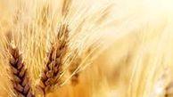قیمت گندم در بازار جهانی 3.75 دلار افزایش یافت