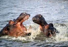 وقتی یک تمساح گیر یک گله اسب آبی میافتد + فیلم